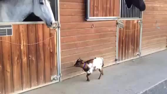 Watch Baby goat tries to head-butt adult horse GIF on Gfycat. Discover more related GIFs on Gfycat