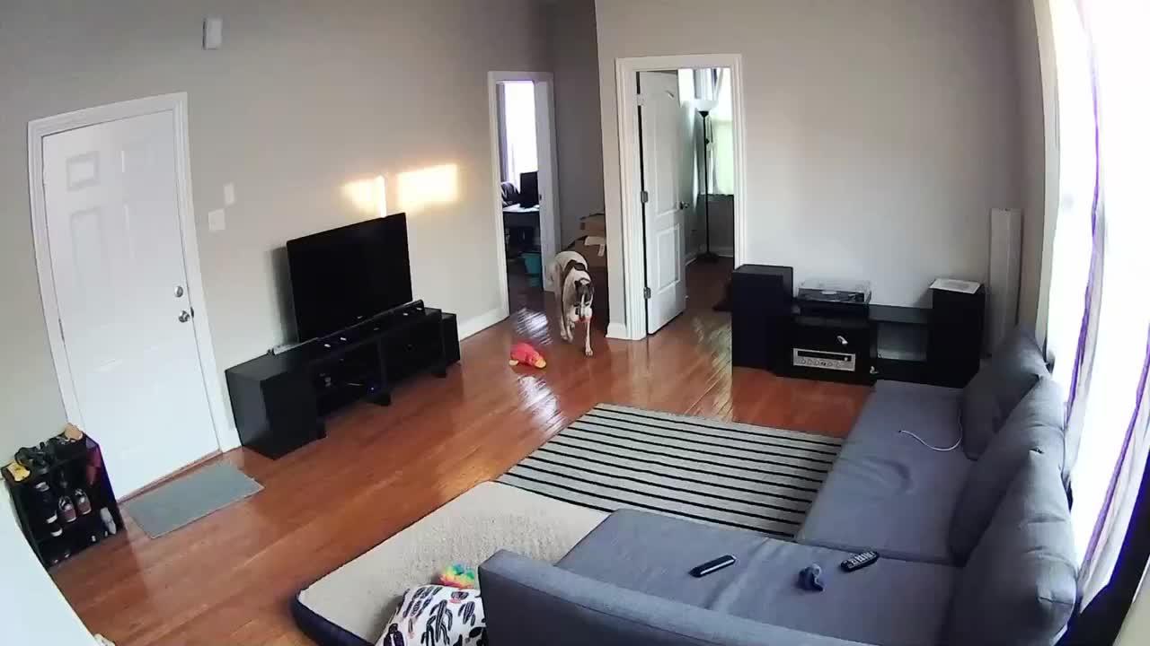 dog, greyhound, playing, zoomies,  GIFs