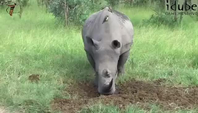 Watch and share White Rhino Marking His Territory GIFs on Gfycat