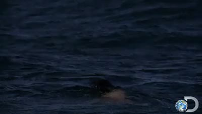 Watch Discovery GIF on Gfycat. Discover more Air Jaws, Discovery, Great White, Jaws, Jump, Ocean, Shark, Shark Attack, SharkWeek, Wildlife GIFs on Gfycat