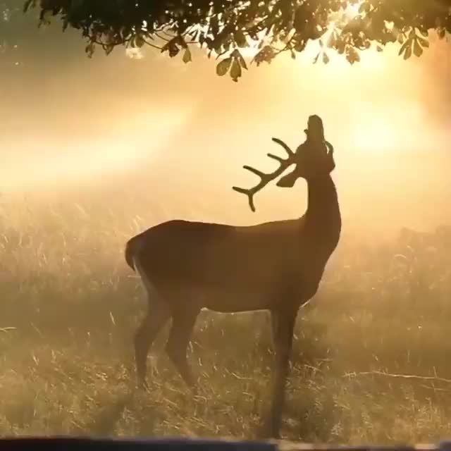Watch and share A Gorgeous Buck Jumping Up To Grab An Apple In The Morning Rays (@junkyardmax) GIFs by tothetenthpower on Gfycat