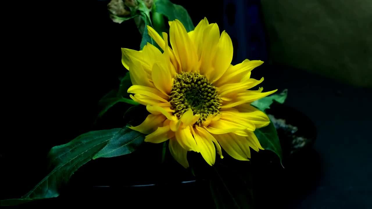 Growing, anthesis, bloom, bud, chlorosis, flower, garden, girasol, green, growing, helianthus, heliotropism, hojas, mini, nastism, petals, semilla, stamen, talo, time-lapse, tropism, 7 GIFs
