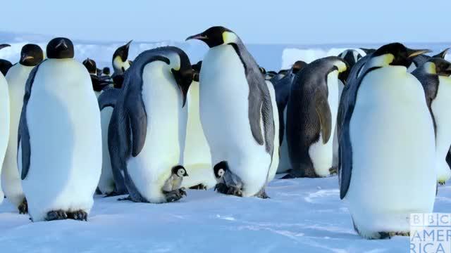 Dynasties Penguin Chicks happy excited emperor penguins emperor penguin cute bbc america: dynasties bbc america dynasties bbc america awww animals animal ahhh advert GIF