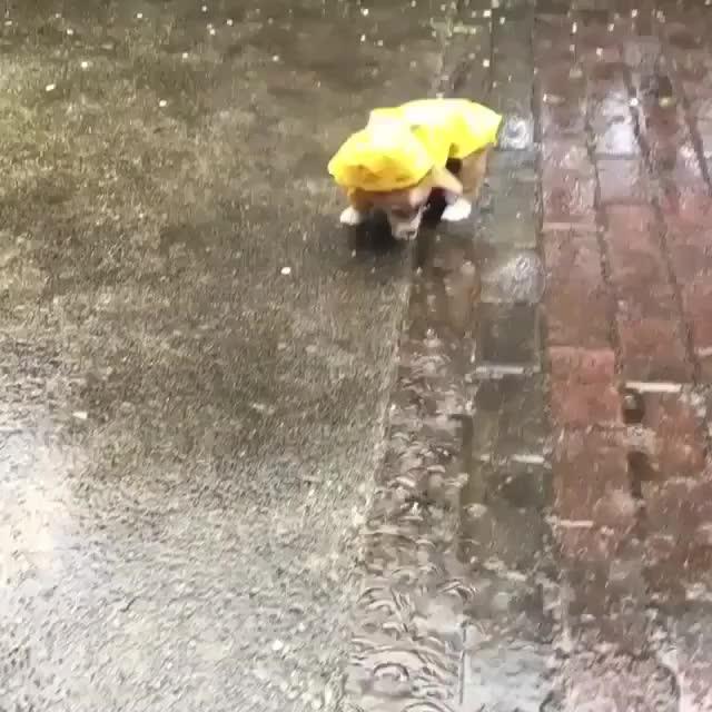 corgi, puppy, rain, raining, puppyraincoat GIFs
