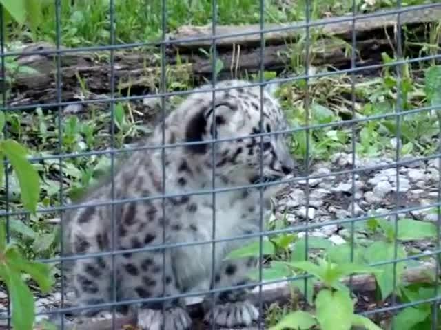 big, cats, cub, cubs, cute, leopard, leopards, little, snow, tiny, Snow Leopard Cub GIFs
