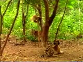 baby, funny baby, pranks, monkey pranks tiger GIFs