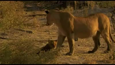 Watch Poor baby lion is abandoned by his mother GIF on Gfycat. Discover more Pets & Animals, The Last Lions (Film), abandoned, lion, lion baby, lion cub, lions, ovyxdiu GIFs on Gfycat