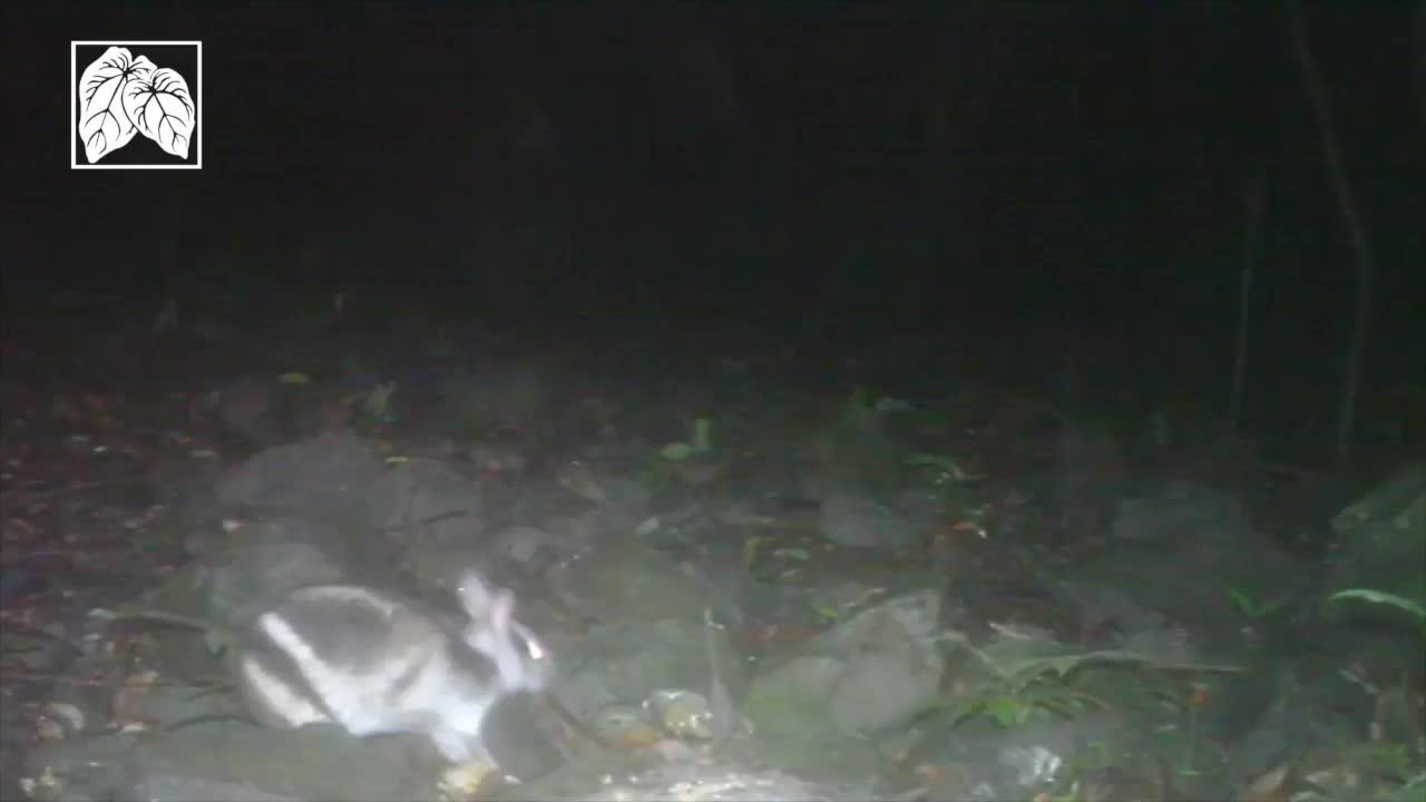 Annamite Striped Rabbit GIFs