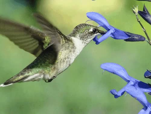 Watch this GIF on Gfycat. Discover more animal, beautiful, bird, colibri, flowers, flying, gif, hummingbird, nature, wings GIFs on Gfycat