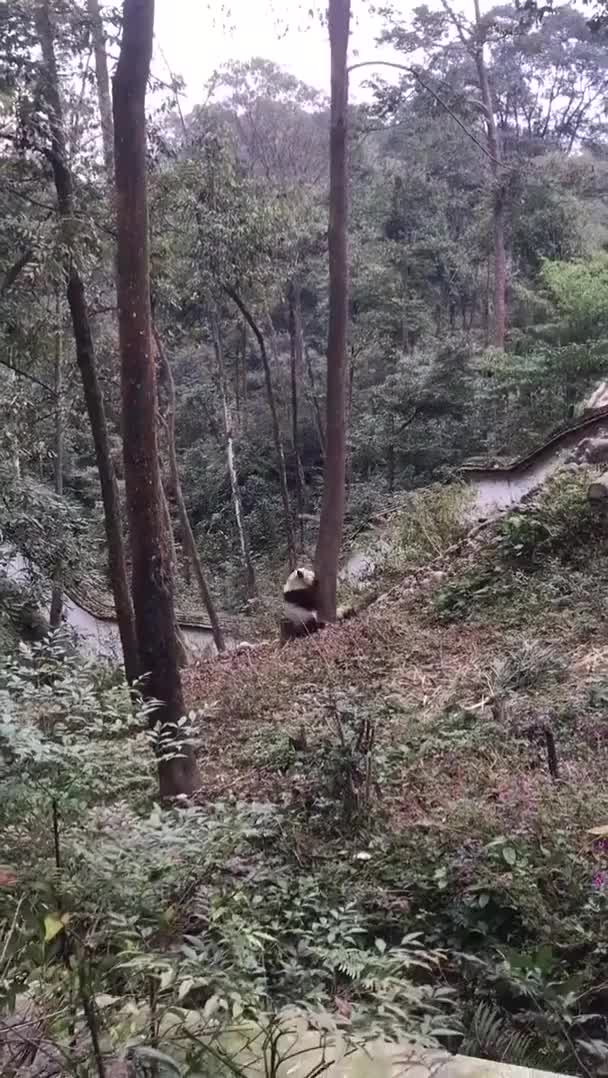 Watch and share Panda Climbing A Tree GIFs on Gfycat