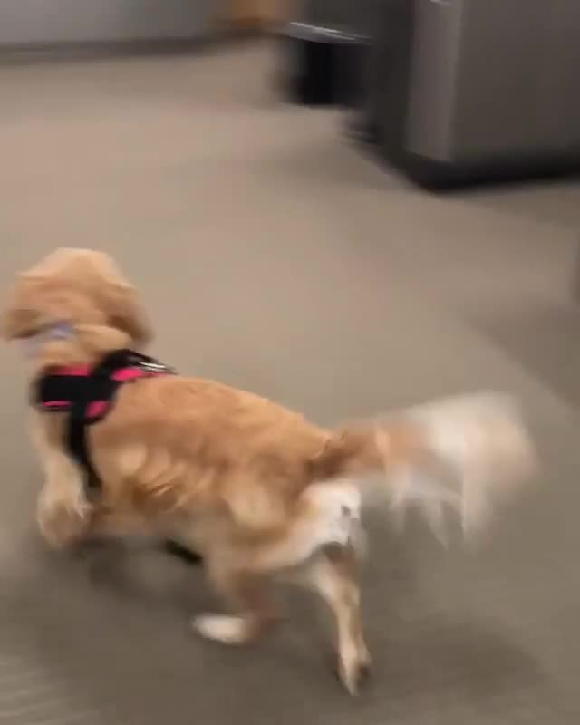 Watch and share Office Pup Busy Getting Pets From Everyone In The Office GIFs on Gfycat