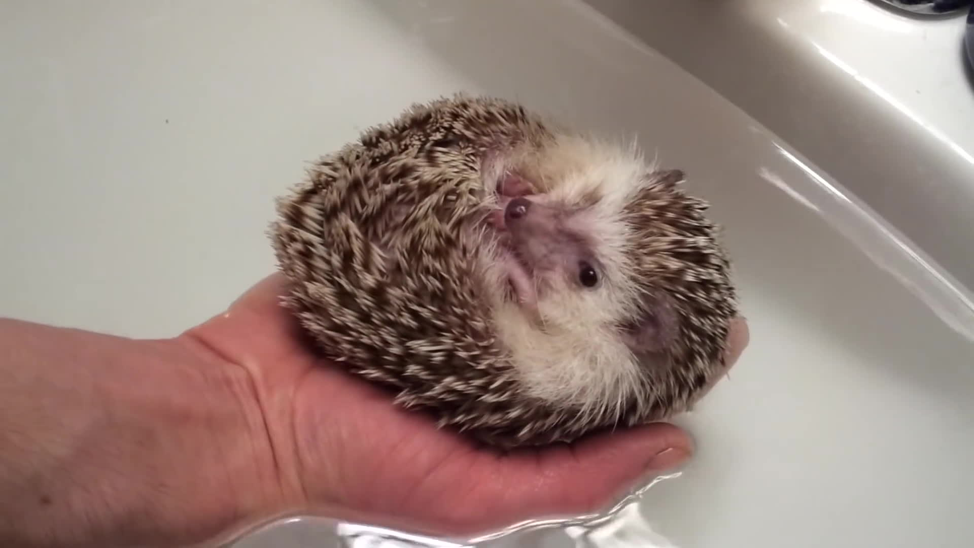 animal, animals, float, floating, hedgehog, Hedgehog Boat GIFs