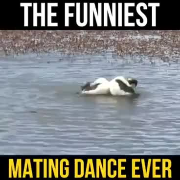 Watch and share The Funniest Mating Dance Ever GIFs on Gfycat