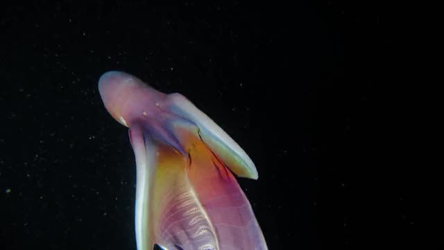 Watch and share Blanket Octopus GIFs by hellsjuggernaut on Gfycat