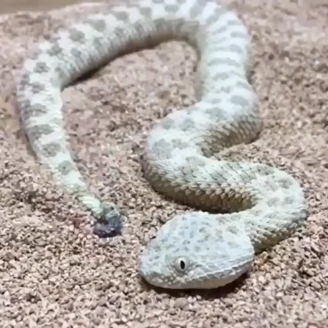 Saharan Sand Viper concealing itself GIFs