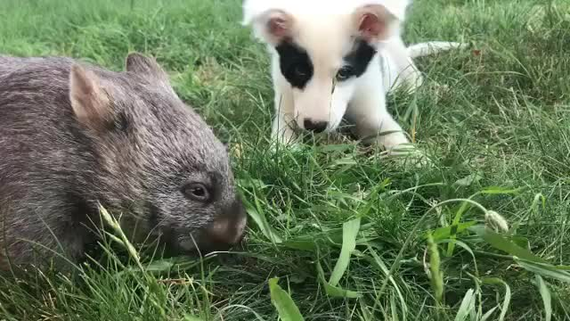 Watch and share Pupper And Wombat Enjoy A Meal (Source @tarynkristy On Instagram) GIFs on Gfycat