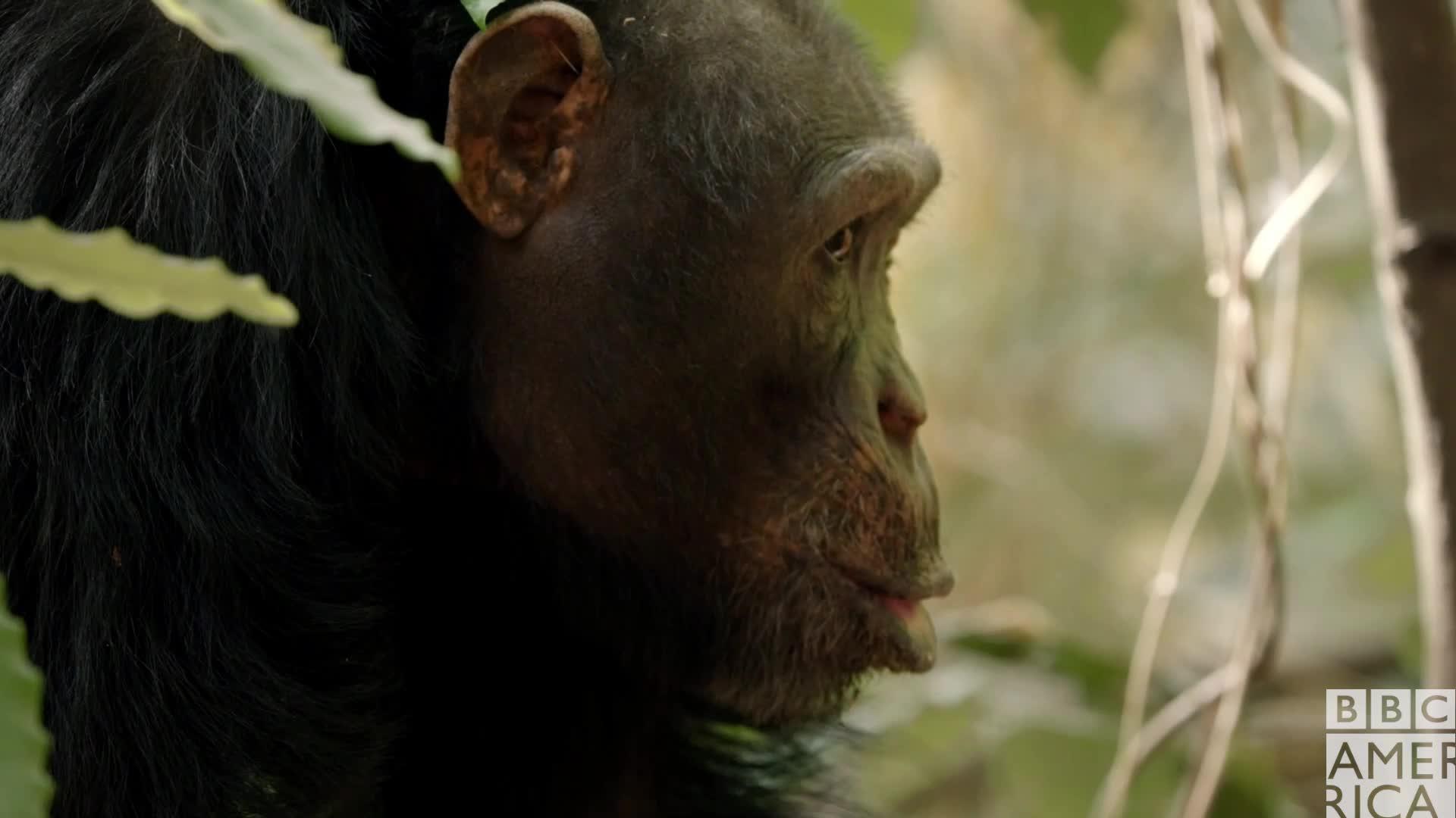 animal, animals, bbc america, bbc america dynasties, bbc america: dynasties, chimp, chimpanzee, chimpanzees, chimps, dynasties, Dynasties Chimp Kiss Lips GIFs