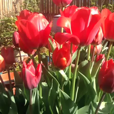 Watch and share Tulips GIFs by Daniel Baker on Gfycat