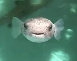 Watch and share Puffer Fish GIFs and Animals GIFs on Gfycat