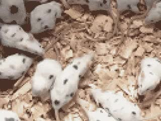 Watch and share Dalmatian Mice. GIFs on Gfycat
