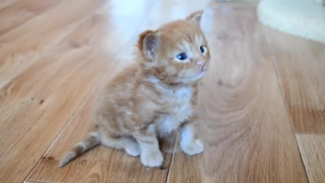 Watch Cute, little Maine Coon kitten GIF by fomicheva1979 on Gfycat. Discover more Cute, kitty GIFs on Gfycat
