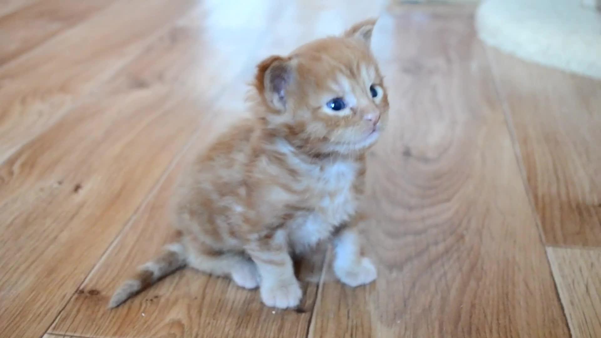 Cute, kitty, Cute, little Maine Coon kitten GIFs