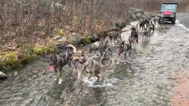 Watch and share Sled Dogs GIFs and Mushing GIFs by 5frogmargin on Gfycat