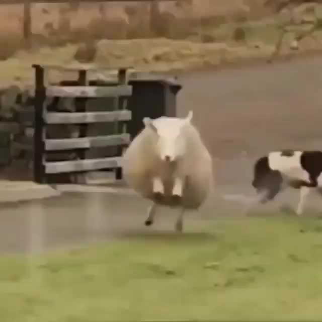 Watch and share Happy Sheep GIFs and Excited GIFs by PrviAxiom on Gfycat