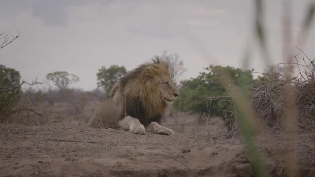 Watch Birmingham Lion Get Up GIF by @londolozi on Gfycat. Discover more related GIFs on Gfycat
