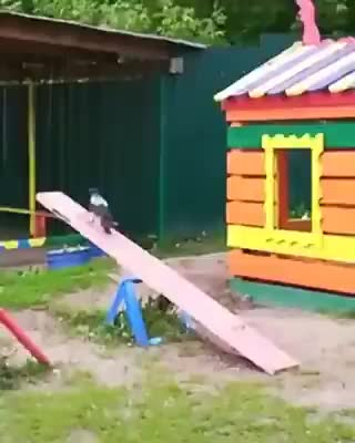 Watch and share Playful Crow GIFs on Gfycat