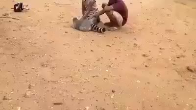 Watch King Julien demands you scratch him GIF on Gfycat. Discover more animalsbeingjerks GIFs on Gfycat