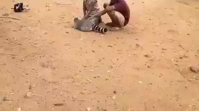 animalsbeingjerks, King Julien demands you scratch him GIFs