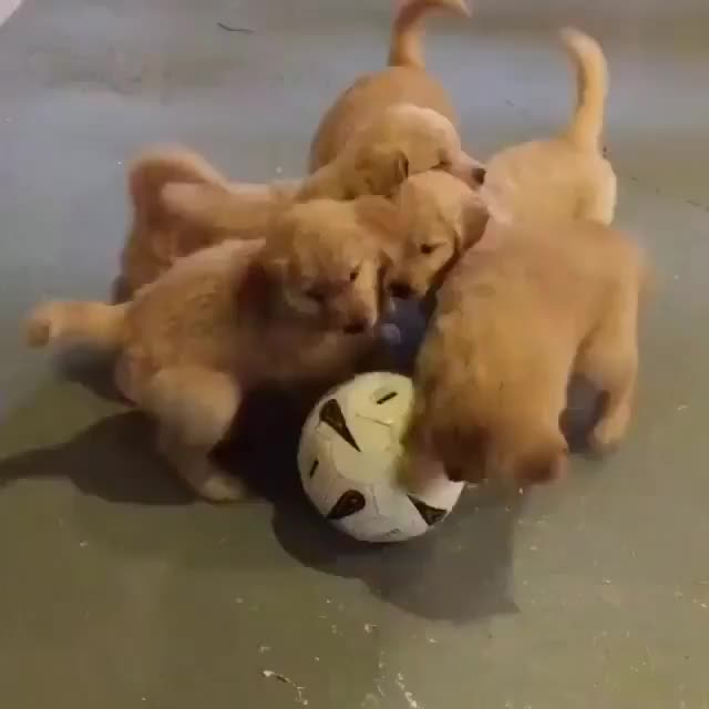 Watch and share Cutegolden GIFs and Goldenlove GIFs on Gfycat
