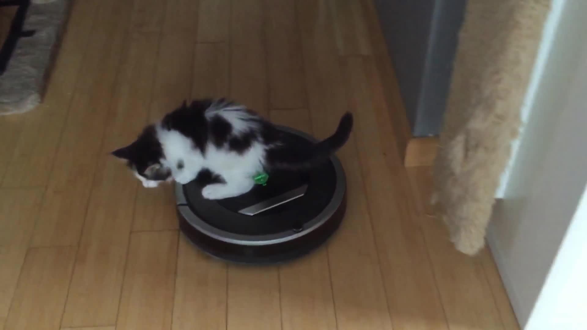 Amarok riding a Roomba (Maine Coon 6wk kitten) GIFs