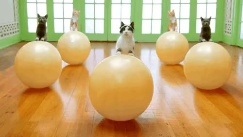 Watch and share Post Cats Exercising On Yoga Balls GIFs on Gfycat