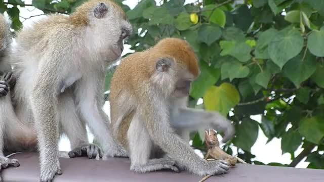 Watch and share Lizard Getting Eaten Alive By A Macaque GIFs by Pardusco on Gfycat