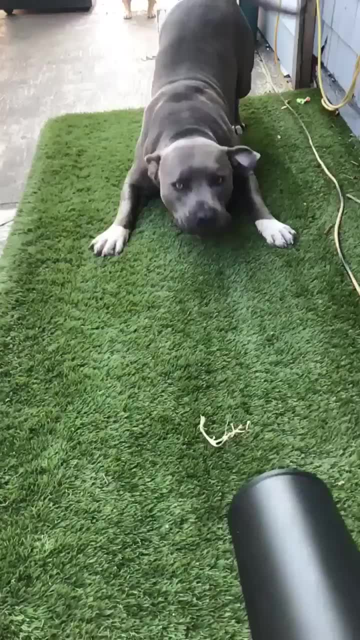 Dog Loves Playing With Leafblower, Doggo Loves Playing With Leafblower GIFs