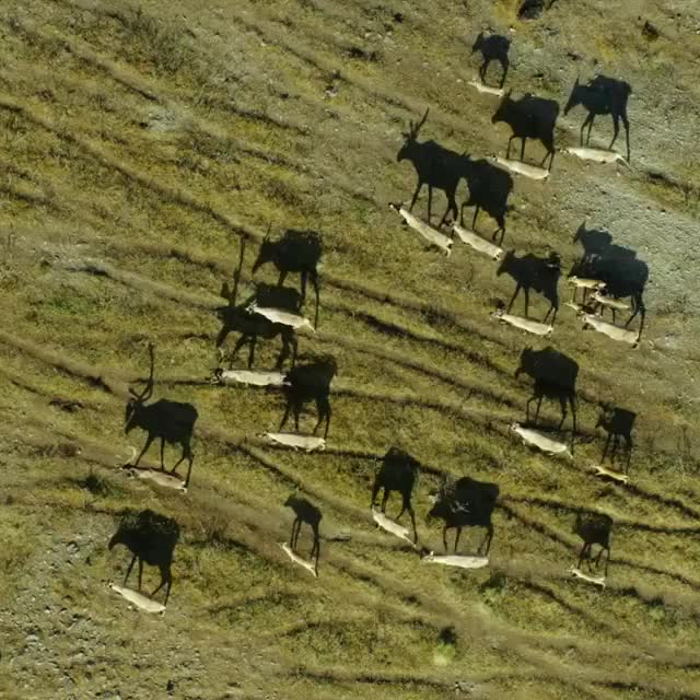 Watch and share Every Year About 200 000 Caribou Migrate To The Coastal Plain Of The Arctic National Wildlife Refuge To Give Birth To Their Young.  GIFs by Towelie on Gfycat