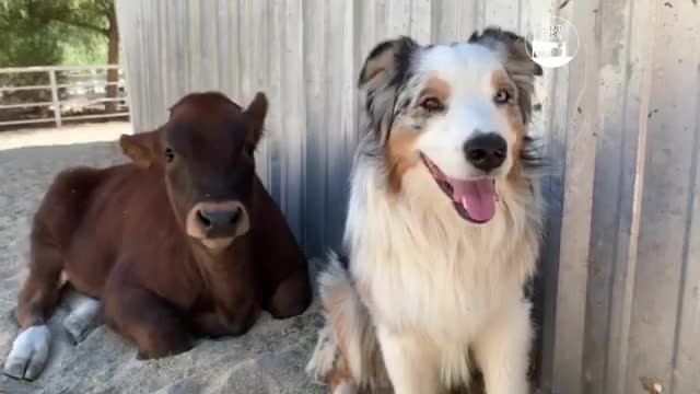 Watch and share Animal Friends GIFs and Cow And Dog GIFs by lnfinity on Gfycat