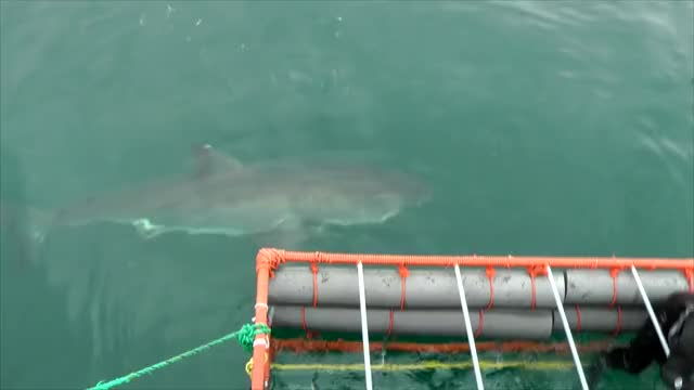 Watch and share Great White Shark GIFs on Gfycat