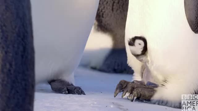 Dynasties Baby Penguin