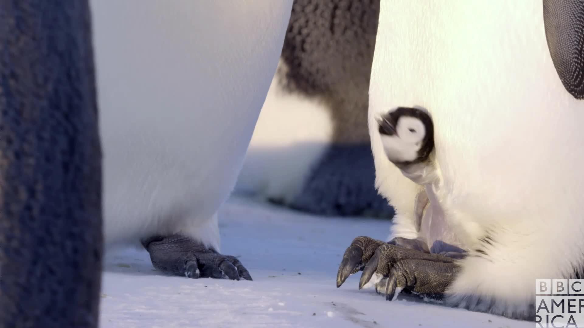 animal, animals, awww, bbc america, bbc america dynasties, bbc america: dynasties, cute, dynasties, emperor penguin, emperor penguins, penguin, penguins, Dynasties Baby Penguin GIFs
