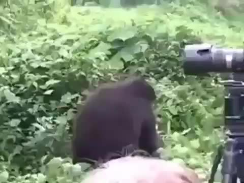 nature, Silverback casually reminding wildlife photographers who's in charge GIFs
