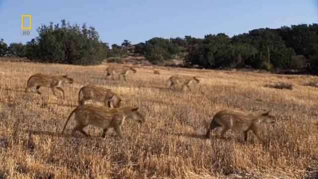 Watch Prehistoric Predators: Merycoidodon on the Move GIF on Gfycat. Discover more CGI, Herd, Merycoidodonculbertsoni, Natgeo, NationalGeographic, PrehistoricAnimal, PrehistoricAnimals, PrehistoricPredators, SeldomSeenSpecies, animal, animals, chordata, documentary, fauna, grassland, mammals, nature, oligocene, prehistoric, prehistory GIFs on Gfycat