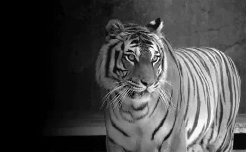 Watch this animal GIF on Gfycat. Discover more animal, animals, cat, tiger, tigress GIFs on Gfycat
