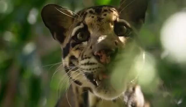 Watch and share Clouded Leopard GIFs on Gfycat