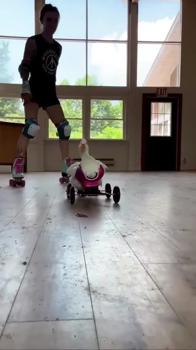 Watch and share Kiwi The Disabled Duck Is Learning To Walk Again With The Help Of Her Wheelchair And She Has Some Extra Encouragement GIFs by yourfavoritegiffer on Gfycat