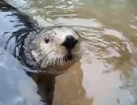 Watch and share Otter GIFs on Gfycat