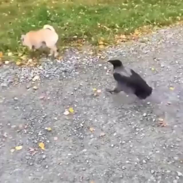 Watch and share Panda Productions GIFs and Chihuahua Vs Crow GIFs by Nomorefoxgiven on Gfycat