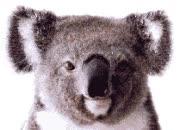 Watch and share Dancing Koala animated stickers on Gfycat